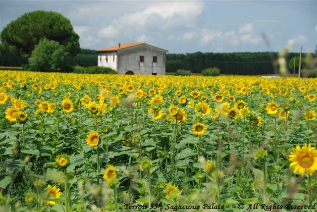 Field of sunflowers on our way back